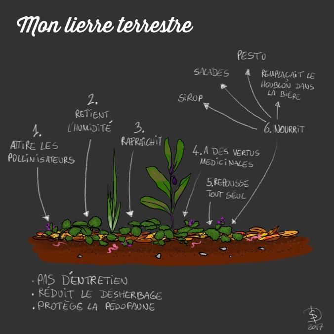 lierre_terrestre