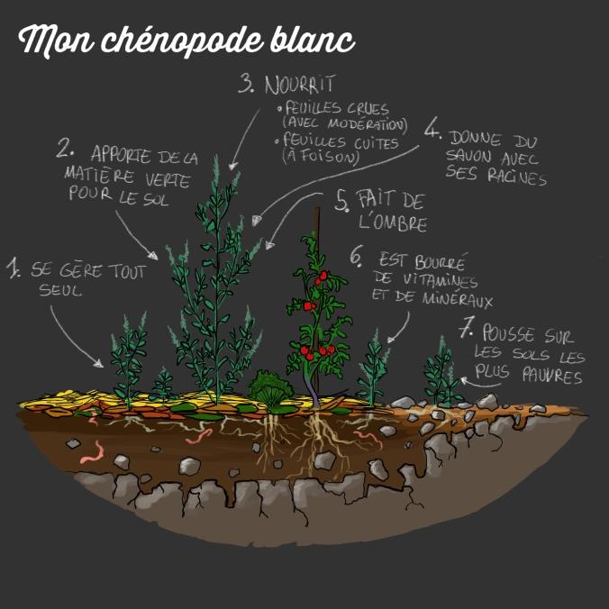 chénopode_blanc